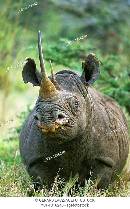 BLACK RHINOCEROS diceros bicornis, ADULT WITH LONG HORN, KENYA