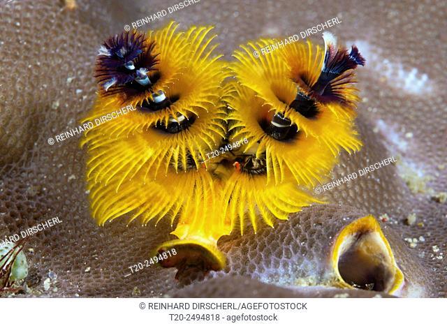 Yellow Christmas-Tree Worm, Spirobranchus giganteus, Florida Islands, Solomon Islands