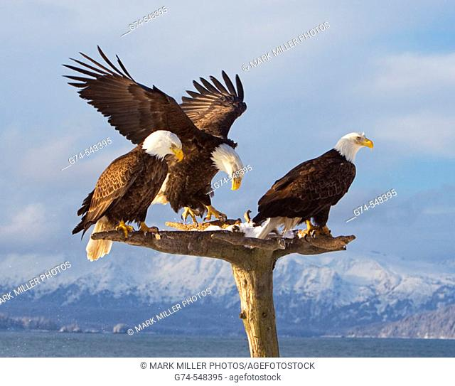 Three American Bald eagles on a beatiful perch with snow and mountains along the Kenai Peninsula. Early spring. Alaska. USA
