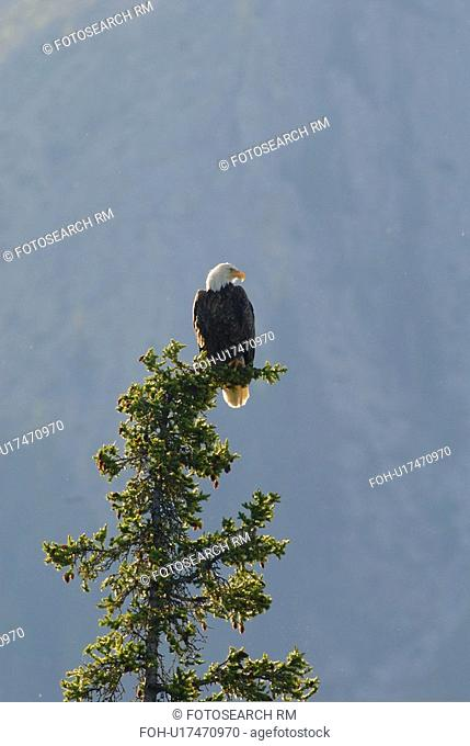 tree icon vertical image bald eagle sitting in