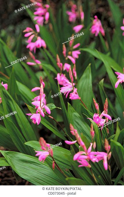 Flowers (Bletilla striata)