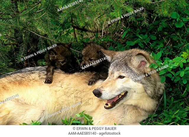 Gray Wolf w/ one month old Pups (Canis lupus) Montana/Canada border