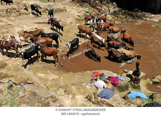 African hygiene, washing clothes next to a herd of cattle at a river in the Rift Valley, Oromia, Ethiopia, Africa