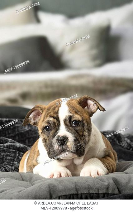 Continental Bulldog puppy indoors