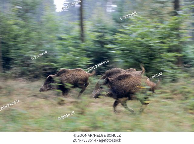 Young Wild Boars run across a forest