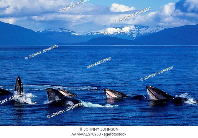 Humpback Whales Bubble Net feeding (Megaptera novaeangliae), AK, Frederick Sound