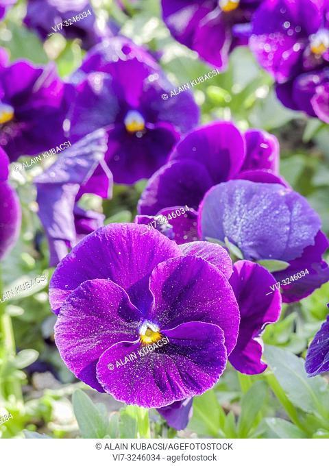 Pansy / Viola x wittrockiana 'Unicolor Purple'