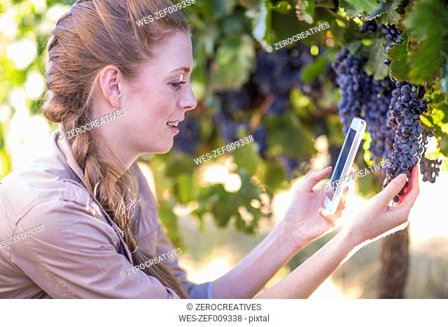 Woman in vineyard taking picture of grapes