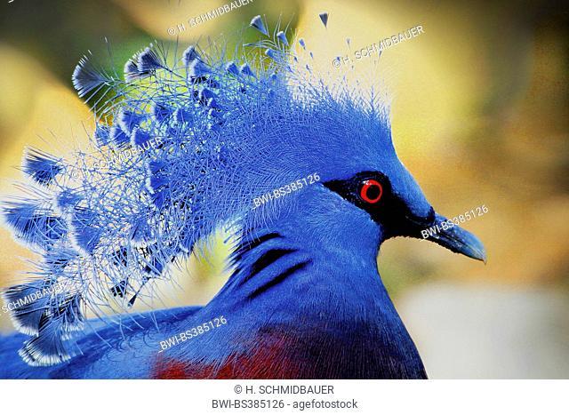 victoria crowned pigeon (Goura victoria), portrait
