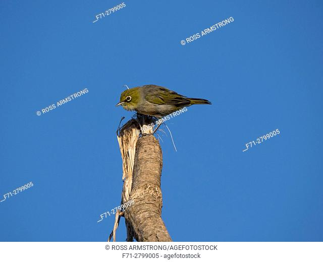 The silvereye or wax-eye (Zosterops lateralis) on top of a cabbage tree trying to remove a loose piece of a leaf. Whangarei Northland, New Zealand