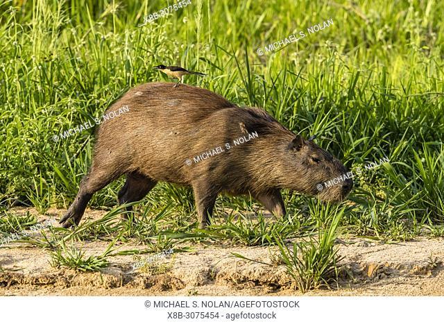 An adult capybara, Hydrochoerus hydrochaeris, with a donacobius, Donacobius atricapilla, Brazil