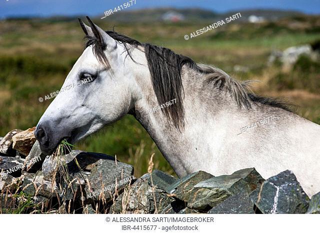 Connemara pony looking over stone wall, Connemara, Galway, Ireland