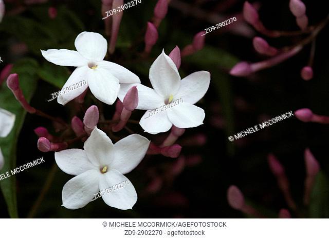 Pink jasmine in spring bloom