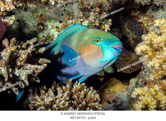 Daisy parrotfish or Bullethead parrotfish (Chlorurus sordidus) is sleeping on a coral reef, night diving, Red sea, Sharm El Sheikh, Sinai Peninsula, Egypt