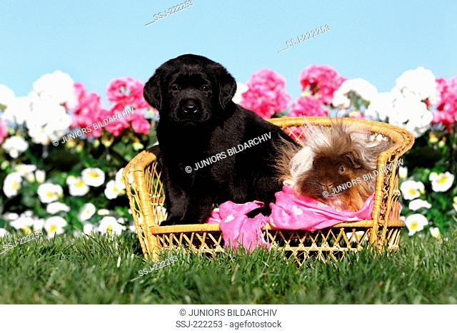 Labrador Retriever. Black puppy (5 weeks old) and Long-haired Guinea Pig sitting on a small wicker bench. Germany