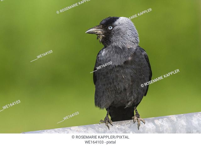 Germany, Saarland, Homburg - A Jackdaw is searching for fodder