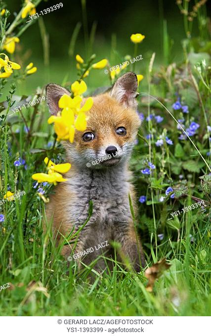 Red Fox, vulpes vulpes, Cub sitting in Flowers, Normandy