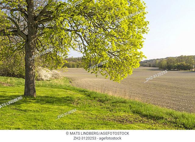Oak tree at a field in spring season, Södermanland, Sweden
