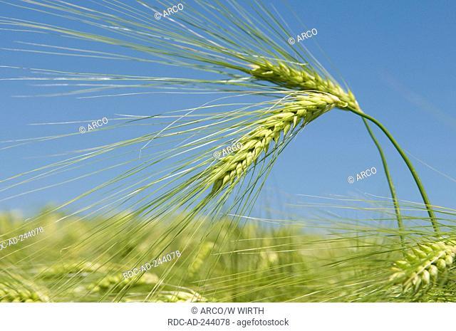 Barley ears Germany Hordeum vulgare