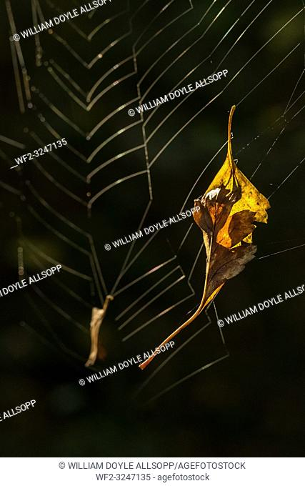 Autumn leaves caught in a spider web
