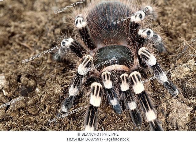 Brazil, Araneae, Mygalomorphae, Theraphosidae, Whiteknee tarantula or Brazilian giant whiteknee tarantula (Acanthoscurria geniculata)
