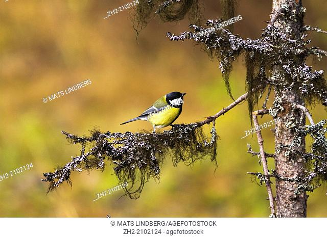 Great Tit, Parus major, sitting in a spruce with lichen och the tree in Gällivare, Lapland, Swedish lapland