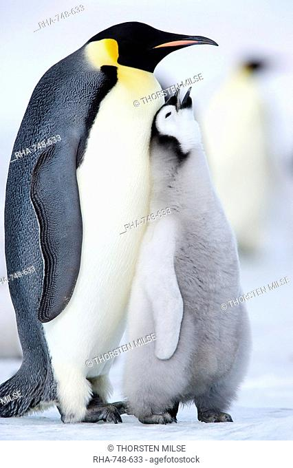 The Emperor Penguin Aptenodytes forsteri is the tallest and heaviest of all living penguin species. It is the only penguin that breeds during the winter in...