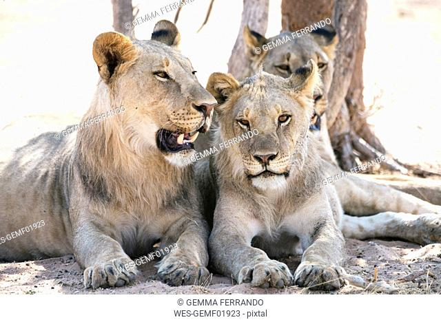 Africa, Namibia, Family of lions resting in Etosha National Park