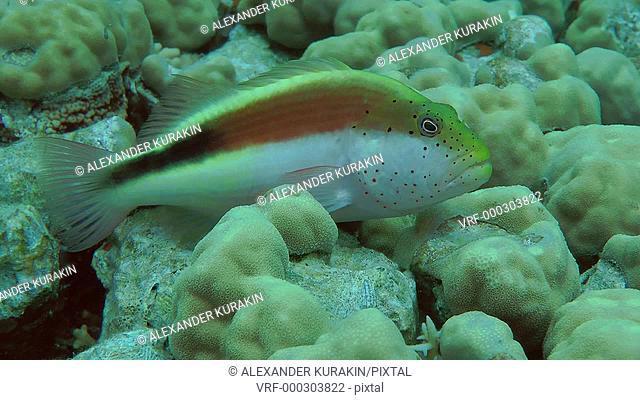 Blackside Hawkfish (Paracirrhites forsteri) on the surface of the coral, medium shot