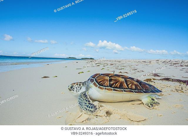 Close-up of Green sea turtle, Chelonia mydas, Turtle Farm, los roques, venezuela Caribbean