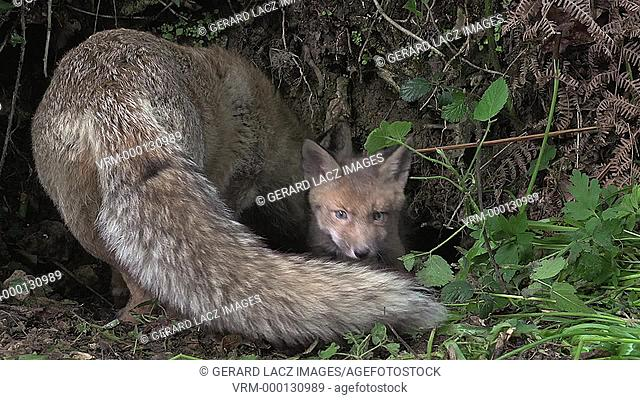 Red Fox, vulpes vulpes, Mother and Cub standing at Den Entrance, Normandy, Real Time