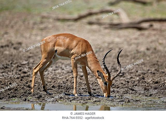 Impala (Aepyceros melampus) buck drinking, Selous Game Reserve, Tanzania, East Africa, Africa