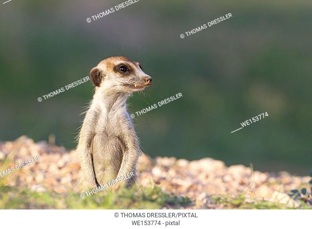 Suricate (Suricata suricatta). Also called Meerkat. Guard on the lookout at its burrow. During the rainy season in green surroundings