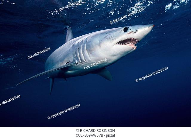 Underwater view of shortfin mako shark (Isurus oxyrinchus) swimming in sea, West Coast, New Zealand