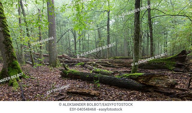 Atumnal landscape of mixed stand with broken trees lying, Bialowieza Forest, Poland, Europe