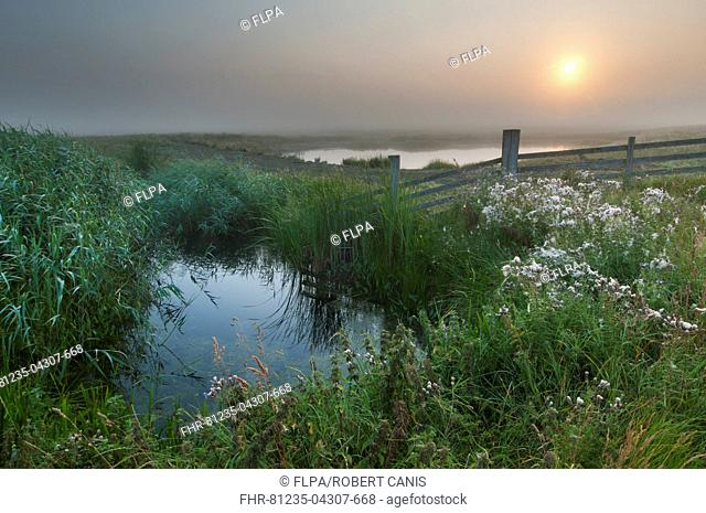 View of water filled ditch and reedbed on coastal grazing marsh habitat at sunrise, Elmley Marshes N.N.R., Isle of Sheppey, Kent, England, July
