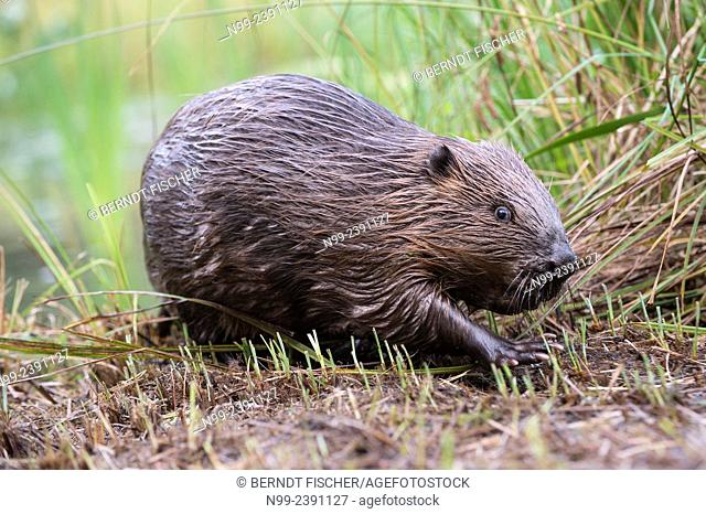 Beaver (Castor fiber), walking on a river bank, Bavaria, Germany