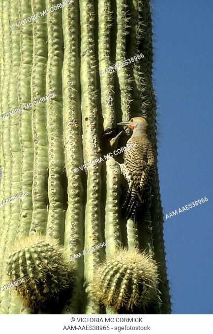 Northern Flicker (Colaptes auratus) nesting in Saguaro Cactus Coronado NF, AZ