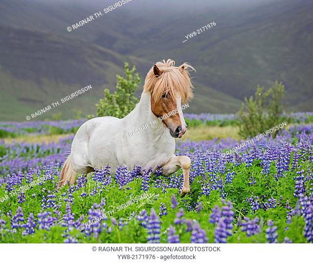 Icelandic Horse running in Lupine fields, Iceland