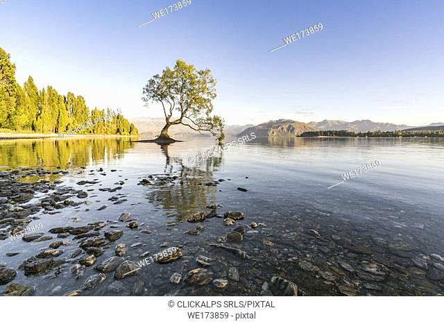 The lone tree in Lake Wanaka in the morning light. Wanaka, Queenstown Lakes district, Otago region, South Island, New Zealand