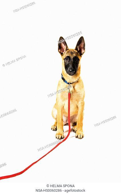 Dog training, sit-exercise