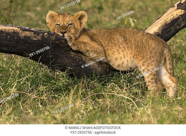 Lion cub resting on a fallen branch. Masai Mara National Reserve, Kenya