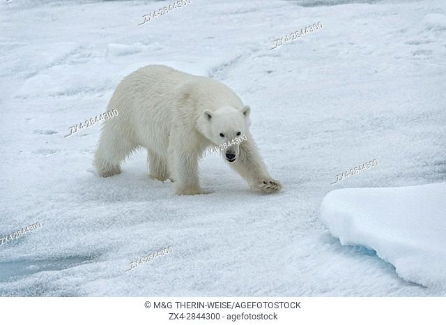 Female Polar bear (Ursus maritimus) walking on pack ice, Svalbard Archipelago, Barents Sea, Norway, Arctic, Europe