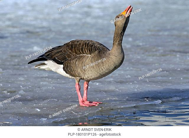 Greylag goose / graylag goose (Anser anser) drinking water while standing on ice of frozen pond in winter