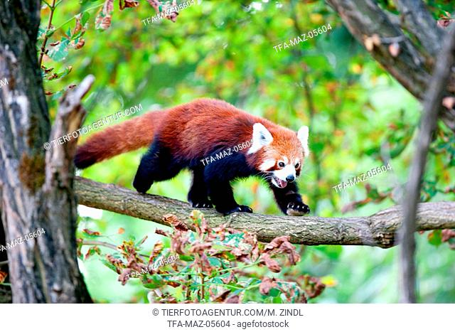 lesser red panda