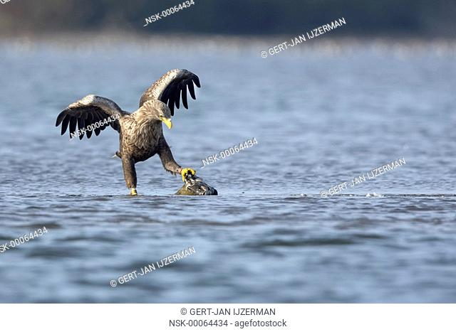 White-tailed eagle (Haliaeetus albicilla) playing with his prey in shallow water, The Netherlands, Overijssel, Kampen, Ketelmeer