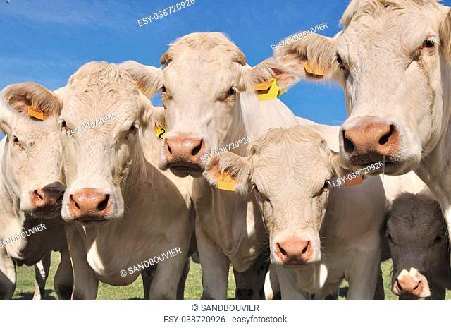 portrait of charolais cows and calves in meadow