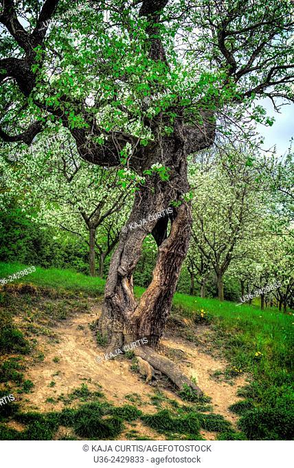 Gutless tree