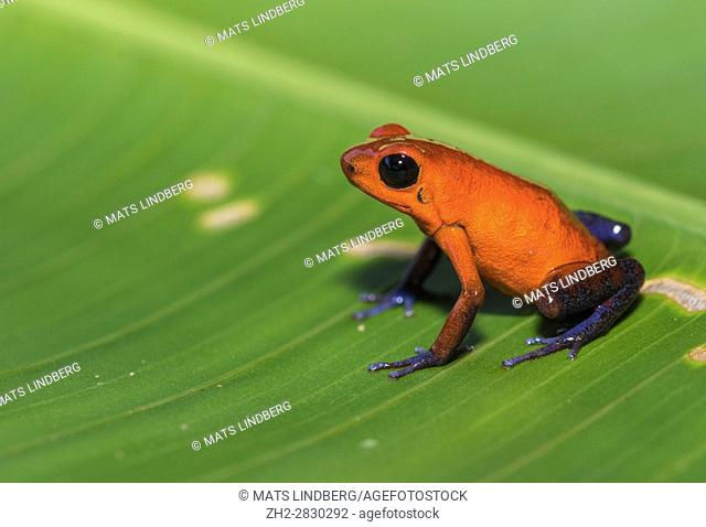 Blue-jeans Frog or Strawberry Poison-dart Frog, Dendrobates pumilio, sitting on a green banan leaf in rainforest at Laguna del Lagarto, Boca Tapada, san Carlos