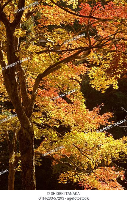 Autumn maples, Kyoto, Japan